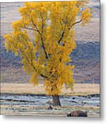Bison And Cottonwood Metal Print