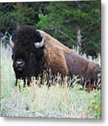 Bison At Rest Metal Print
