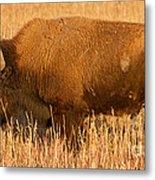Bison At The Elk Ranch In Grand Teton National Park Metal Print