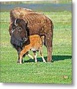 Bison Baby And Mom Metal Print