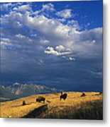 Bison Back From The Brink Metal Print