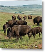 Bison Buffalo In Wind Cave National Park Metal Print