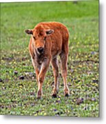 Bison Calf In The Flowers Yellowstone National Park Metal Print