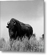 Bison Cow On An Overlook In Yellowstone National Park Black And White Metal Print