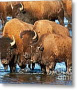Bison Family In The Lamar River In Yellowstone National Park Metal Print