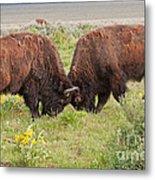 Bison Fight In Grand Teton National Park Metal Print