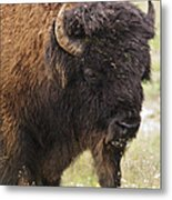 Bison From Yellowstone Metal Print