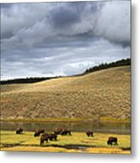 Bison Grazing Along The Yellowstone River In Hayden Valley Metal Print