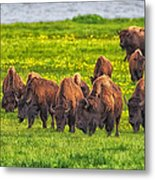 Bison Herd Grazing In Lamar Valley Metal Print