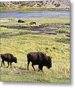 Bison Mother And Calf In Yellowstone National Park Metal Print