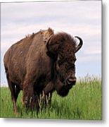 Bison On The Prairie Metal Print