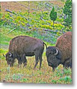 Bison Pair In Hayden Valley In Yellowstone National Park-wyoming  Metal Print