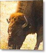 Bison Wander Metal Print