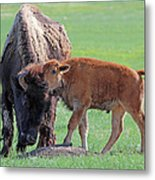 Bison With Young Calf Metal Print