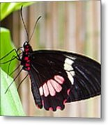 Black And Red Cattleheart Butterfly Metal Print