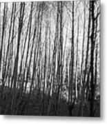 Black And White Birch Stand Metal Print