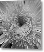 Black And White Chrysanthymum Metal Print