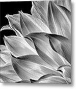 Black And White Dahlia Metal Print