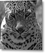 Black And White Leopard Portrait  Metal Print