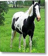 Black And White Paint Horse Metal Print
