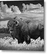 Black And White Photograph Of An American Buffalo Metal Print