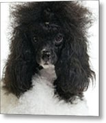 Black And White Poodle Metal Print
