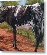 Black And White Shorthorn Steer Metal Print