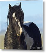 Black And White Stallion Comes Close Metal Print