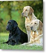 Black And Yellow Labrador Retrievers Metal Print