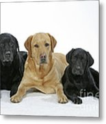 Black And Yellow Labradors With Puppy Metal Print