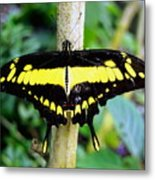 Black And Yellow Swallowtail Butterfly Metal Print