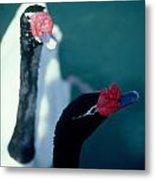 Black Beaked Swans Metal Print