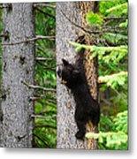 Black Bear Cub Climbing A Pine Tree Metal Print