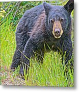 Black Bear Cub Near Road In Grand Teton National Park-wyoming Metal Print