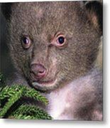 Black Bear Cub Portrait Wildlife Rescue Metal Print