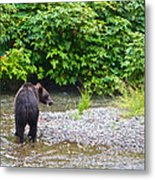 Black Bear Eating A Salmon In Fish Creek In Tongass National Forest-ak Metal Print
