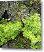 Black Bear Family In A Tree Metal Print