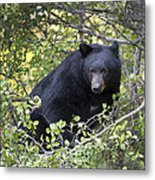Black Bear II Metal Print