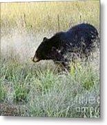 Black Bear In Autumn Metal Print