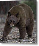 Black Bear Metal Print by Tom Wilbert