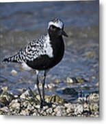 Black-bellied Plover No.2 Metal Print