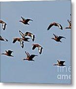 Black-bellied Whistling Ducks In Flight Metal Print