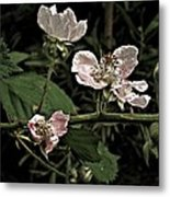 Black Berry Blossoms Metal Print by Elery Oxford