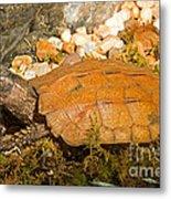 Black Breasted Leaf Turtle Metal Print
