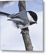 Black Capped Chickadee Metal Print by Gerald Murray Photography