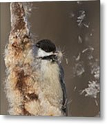 Black-capped Chickadee In Winter Metal Print by Mircea Costina Photography