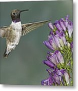 Black Chinned Hummingbird 2 Metal Print