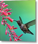 Black Chinned Hummingbird Metal Print
