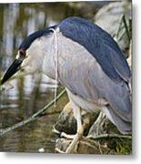 Black-crown Heron Going Fishing Metal Print