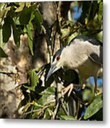 Black-crowned Heron Looking For Nesting Material Metal Print